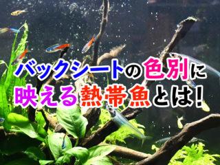 このバックシートにはこの熱帯魚!背景の色別に映える熱帯魚を紹介します