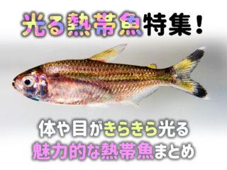光る熱帯魚特集!体や目がきらきら光る魅力的な熱帯魚をまとめてみました