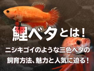 鯉ベタとは!ニシキゴイのような三色ベタの飼育方法、魅力と人気に迫る!