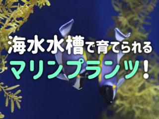 海藻を育てたい!海水水槽で育成するのにおすすめのマリンプランツ5選!