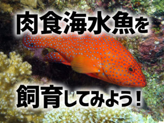 肉食海水魚を飼育してみよう!おすすめの種類5選と飼育方法・混泳について