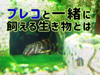 プレコと一緒に飼える生き物!コリドラス・小型魚などおすすめの生体とは