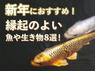 新年におすすめ!金魚など縁起のよい魚や生き物8選!おめでたい魚で彩ろう