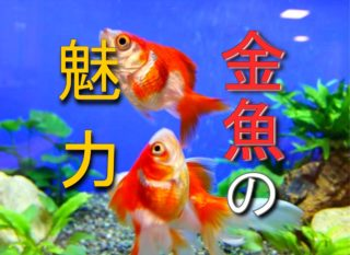 金魚の魅力とは!日本人と金魚の関係から、可愛らしさのポイントを解説!
