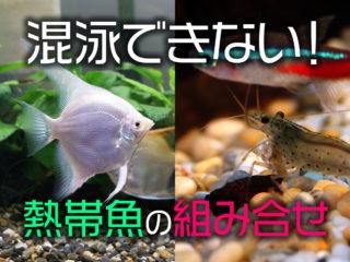 混泳できない!熱帯魚のダメな組み合わせ6通り!相性が悪い理由とは!?