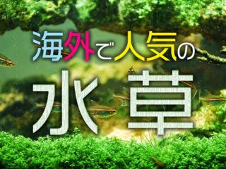 海外で人気の水草3選!ダイナミックなレイアウトを生む水草はこれだ!