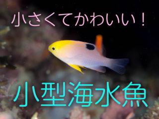 小型海水魚のおすすめ9選!小さくてかわいい!スズメダイなどをご紹介!