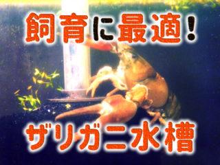 【ザリガニ水槽特集】簡単に管理ができるザリガニ飼育水槽ランキング10
