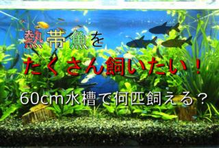 熱帯魚をたくさん飼いたい!60cm水槽で何匹まで飼育できるか?を解説