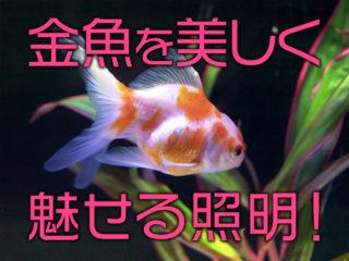 金魚が綺麗に見えるLED5選!照明効果と運用のポイントを解説します!