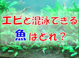 エビと混泳できる魚はどれ?淡水エビと共存できる熱帯魚をご紹介します!