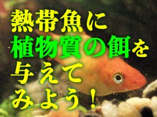 熱帯魚に植物質系の餌を与えてみよう! 健康に必要な理由とおすすめ商品