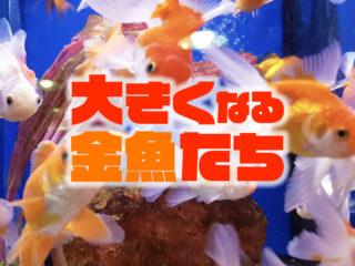 大型金魚7選!コメット・オランダなど大きくなる種類や飼育できる水槽!