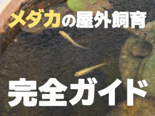 【メダカの屋外飼育完全ガイド】最も良いメダカの屋外飼育にチャレンジしよう