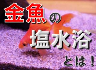 金魚の塩水浴とは!塩水浴の効果・濃度・期間・戻し方を徹底解説します!