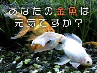 あなたの金魚は本当に元気ですか?8つのポイントで健康をチェックしよう