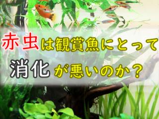 赤虫は観賞魚にとって消化が悪いのか?そういわれる理由と安全な与え方!