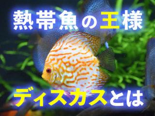 熱帯魚の王様ディスカスとは!異彩を放つ美しいディスカスの魅力を解説!