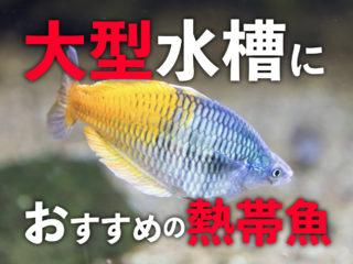 大型水槽におすすめの熱帯魚とは!大型アクアリウムで映える熱帯魚を紹介!