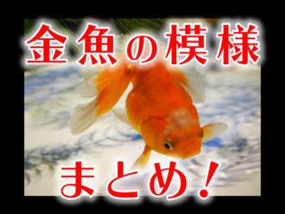 金魚の体色・模様の種類!更紗・三色から頭の形まで!成長で体色は変わる?