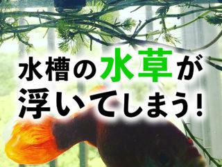 植えた水草が浮いてしまう!対策と浮かないように水草を植え込む方法!