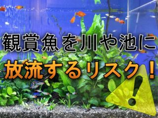 観賞魚を川や池に放流するリスク!自然の河川へ放してはいけない理由!