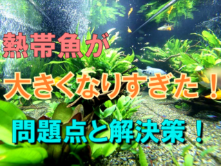 熱帯魚が大きくなりすぎた!問題点と解決策!正しい対処で長生きさせよう