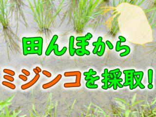 田んぼからミジンコを採取して青水で繁殖させよう!メダカの餌にも最適です
