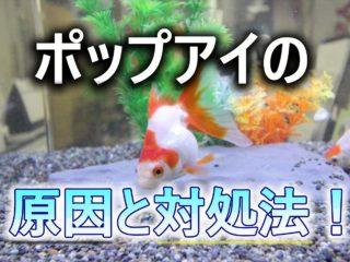 魚の目が飛び出た!ポップアイとは!厄介な病気の原因と対処法を考えます
