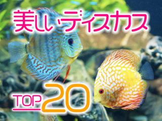 美しいディスカスTOP20!鮮やかな人気種からレア種までご紹介します