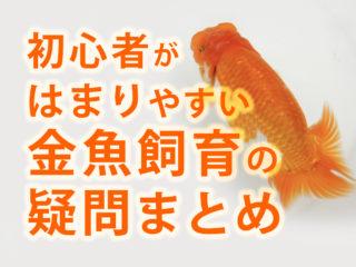 初心者がはまりやすい金魚飼育の疑問をまとめました!高水温対策も解説!