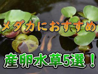 産卵水草5選!メダカが卵を産みやすいおすすめの水草・浮草を特集です!