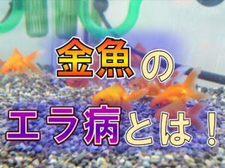 金魚のエラ病とは!原因と治療方法!エラ病にしないための対策を考える!