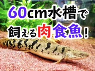 60cm水槽で飼える肉食魚8選!特徴と飼育方法も合わせて解説します!