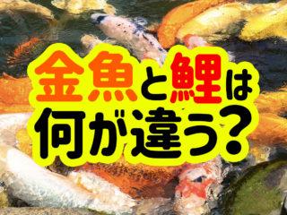 金魚と鯉は何が違うの?生態・飼い方の違いから混泳の可否まで解説します