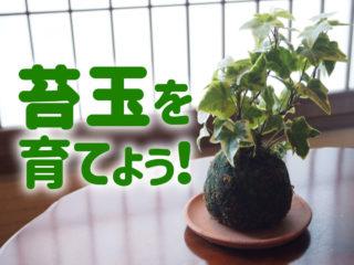 苔玉を育てよう!苔玉の楽しさと魅力・枯れない育成方法を解説します!