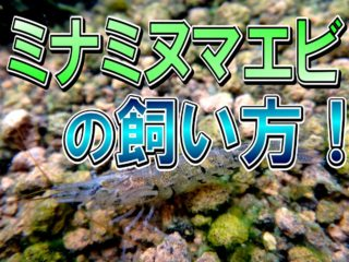 ミナミヌマエビの飼い方!餌・水質・繁殖方法など飼育の基本を解説します