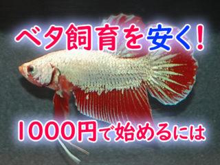 1000円ではじめるベタ飼育!最低限の設備・資材で飼育を始めるには!