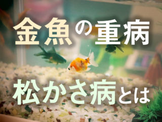 金魚の松かさ病は不治の病?原因と対策・治療方法!薬餌の有効性も解説