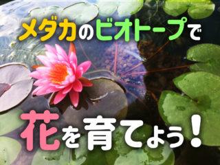 メダカのビオトープで花を育てよう!睡蓮などおすすめの植物・水草7選!