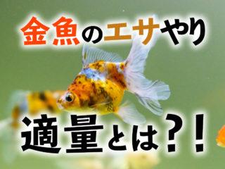 金魚のエサやりポイント3つ!適量とは!実は少ない・与えすぎているのか