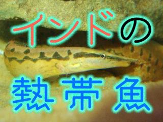 インドの熱帯魚!アクアリウムにおすすめでユニークなインド産の魚10選!