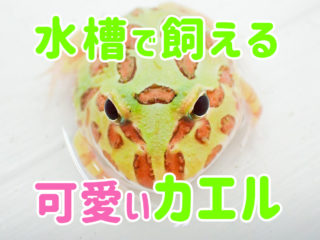 可愛いカエル5選!ツノガエルなど水槽で飼える人気の種類をご紹介します!