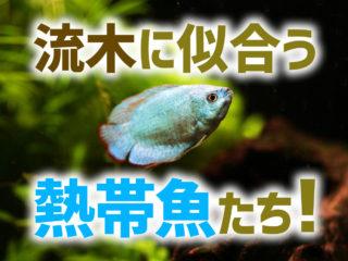 流木のレイアウト水槽に似合う熱帯魚10選!弱酸性の水質を好む魚種とは