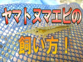 ヤマトヌマエビ飼い方!餌・水質・混泳など基本を解説!繁殖はできるのか?