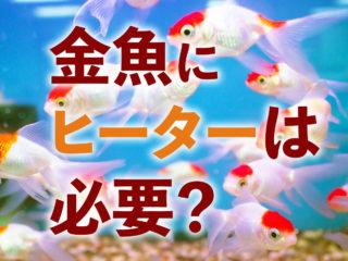 金魚にヒーターは必要?おすすめヒーターと無加温で越冬させるポイント!
