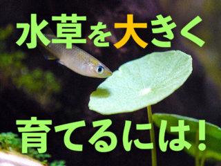 水草を大きな緑の葉に育てるポイント5つ!照明と栄養のバランスで解決!