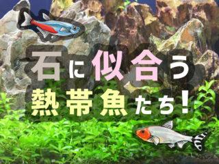 石を使ったレイアウト水槽に似合う熱帯魚10選!石組みと相性の良い魚種!