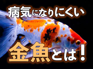 病気になりにくい金魚5選!病気になる要因をもとに強健種を考えてみた!