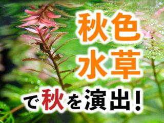 赤い水草でアクアリウムに秋を演出!おすすめの秋色水草7選をご紹介!